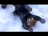 Красные панды играют в снегу