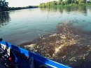 Сом на реке Припять!
