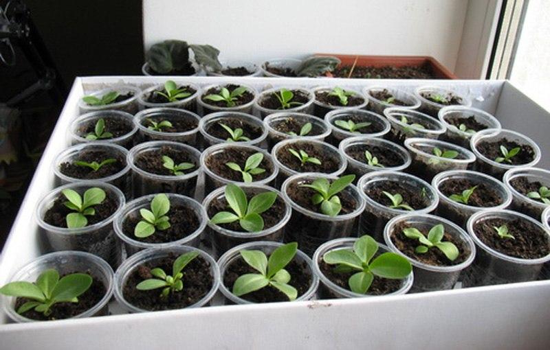 Эустома выращивание из семян