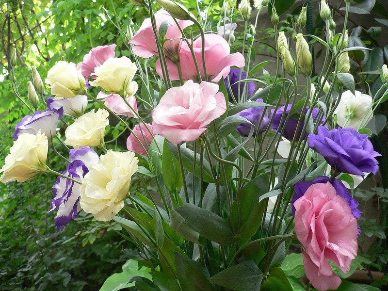 Эустома -  посадка и выращивание эустомы из семян
