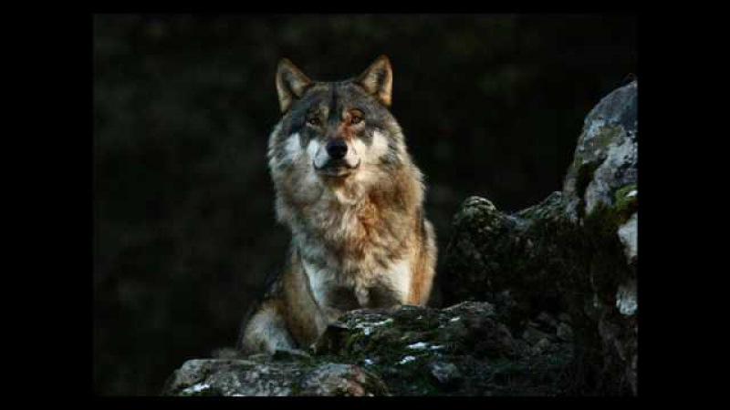 CHEYENNE - Dances Of the Wolf