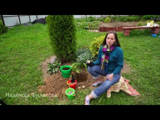 Как посадить луковицы рябчика императорского
