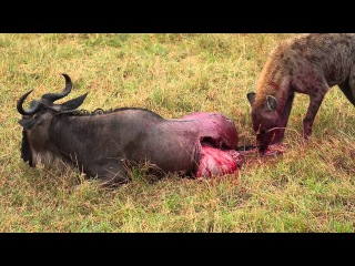 Hyena Eats Wildebeest Alive Brutal Killing Full Movie..Kenya Africa