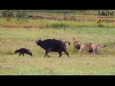 Dramatic Lion Action Lions Stalk And Catch Buffalo Cow Newborn Calf