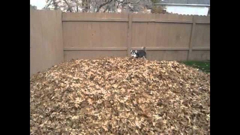 Pile of Dead Leaves Makes Husky the Happiest Dog in the World