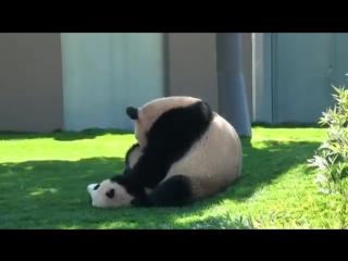 Панда играет со своим детёнышем,позитив