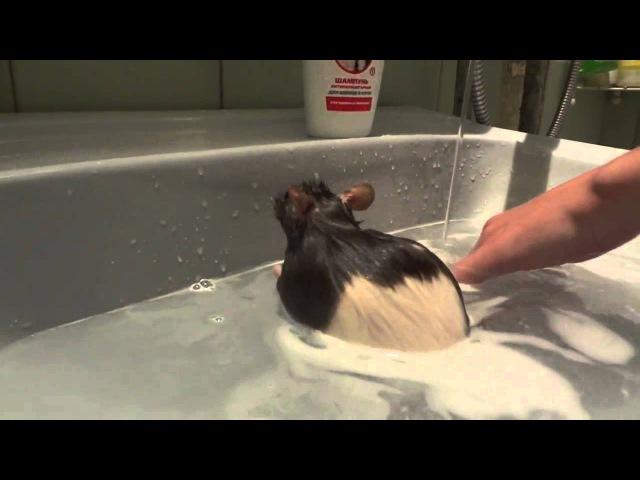 Крыса моется в ванной