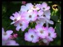 Ландшафтные розы Мускусные гибриды Розы в Саду 16