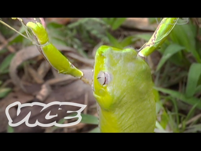 Tripping on Hallucinogenic Frogs (Part 33)