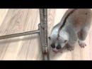 The Clash For Slow Loris