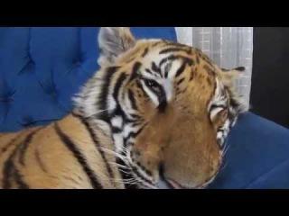 Тигр в отключке в доме домашние тигры спит отдыхает дремлет нападение опасный тигры.
