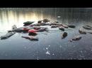 Окунь на блесну. Первый лед 2013. Латгалия.