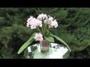 Стрептокарпус DS-Роксолана