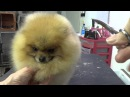Grooming the Show Pomeranian part three