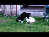 Сексуально озабоченный кролик пристает к коту. Спаривание животных