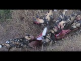 Epic Battle between Wild Dogs and Hyenas, Bloodshed in Kruger National Park.