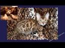 Котята, слайд-шоу, бенгальские котята, Kittens slideshow Bengal kittens