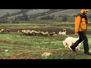 Планета Собак 7 Выпуск - Южнорусская овчарка (Украина) / 2013