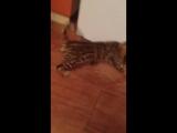 Жадор, бенгальский кот