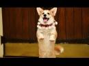 Самые смешные собаки Танцы до упаду!