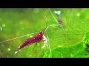Caridina dennerli the Cardinal shrimp from Sulawesi breeding