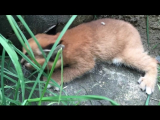6-week-old caracal kittens venture outside with mom (Oregon zoo)