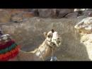 Верблюд жует))