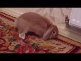 Питомник карликовых вислоухих кроликов в Крыму