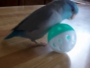 Parrotlet playing with ball