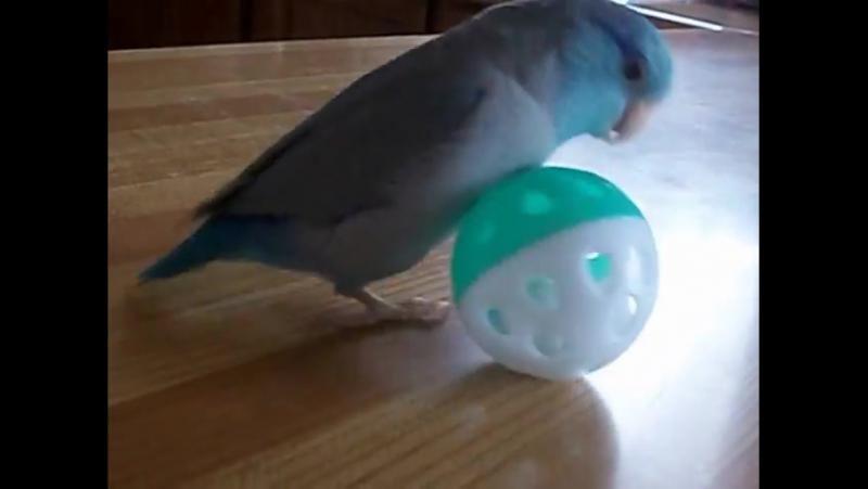 Parrotlet playing with ball » Freewka.com - Смотреть онлайн в хорощем качестве