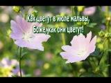 САМАРА. Как цветут в июле мальвы,  Боже, как они цветут!