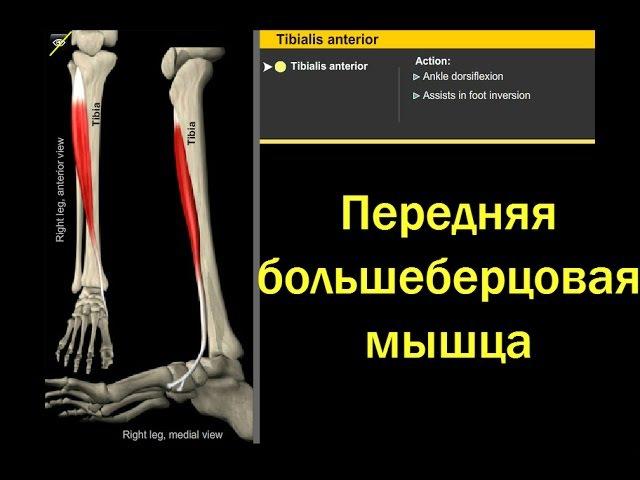 Передняя большеберцовая мышца. Анатомия и биомеханика. gthtlyzz ,jkmit,thwjdfz vsiwf. fyfnjvbz b ,bjvt[fybrf.