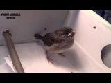 Птенец воробья - Nestling Sparrow