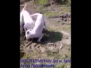Gull_terr vs bully_kuttaбулли_кутта