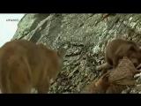 Медвежонок против пумы.avi