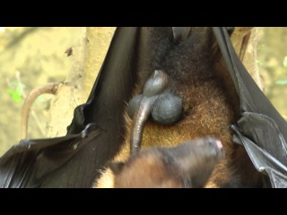 Bat Licks His Penis  バットがペニスを舐める الخفافيش ولغ القضيب
