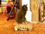 Kitten riding tortoise (Music by Henry Mancini)