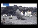giai tri,video clip sexyhot,Hải cẩu cưỡng hiếp chim cánh cụt