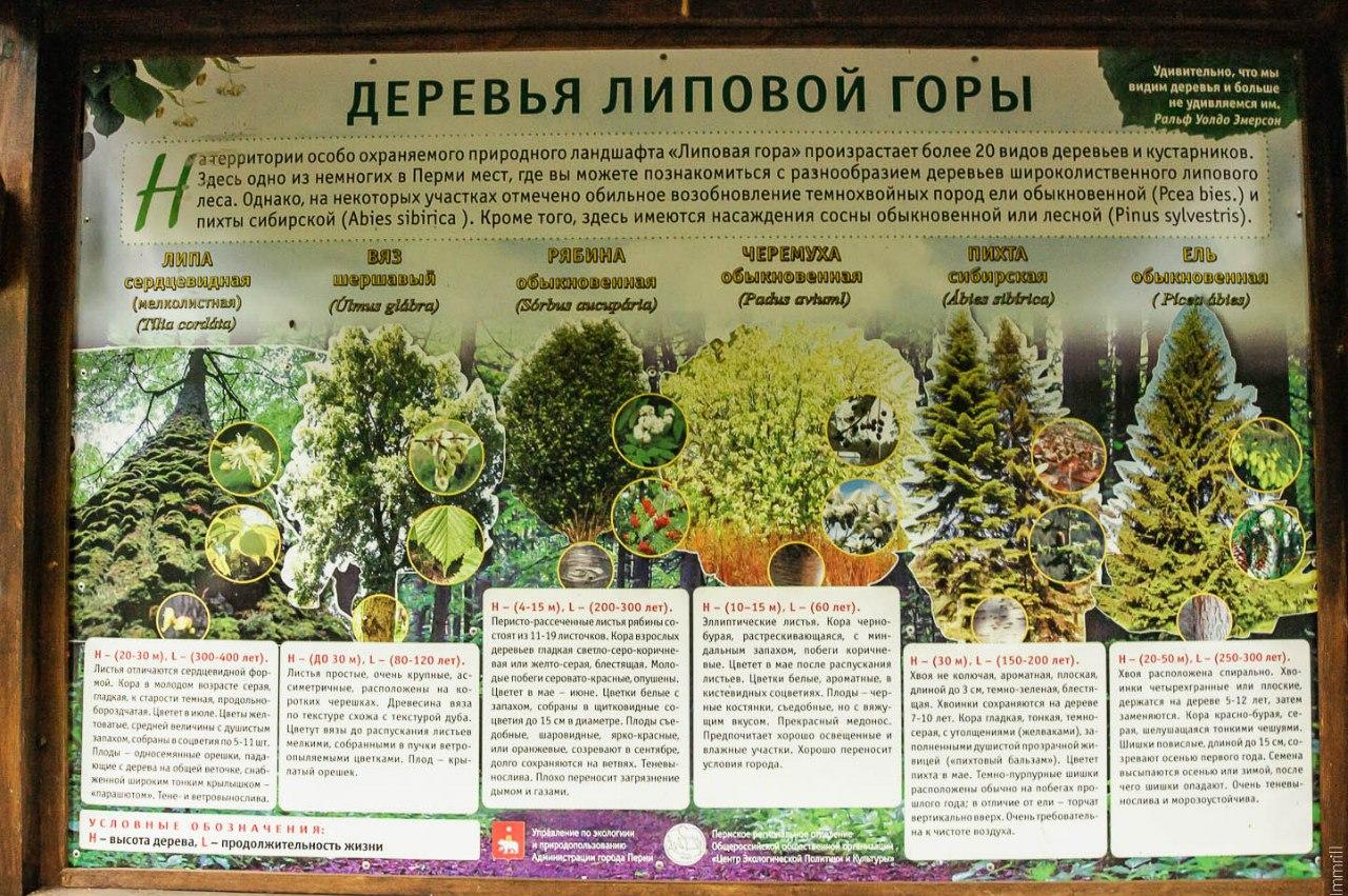 Деревья Липовой горы