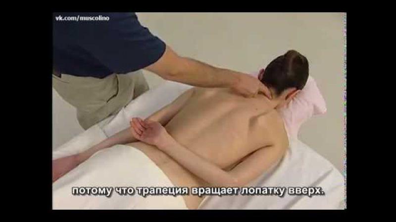 Пальпация мышц - Мышцы туловища