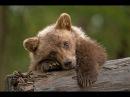 Медвежонок и пума. Трогательное видео. Никогда не сдавайся!