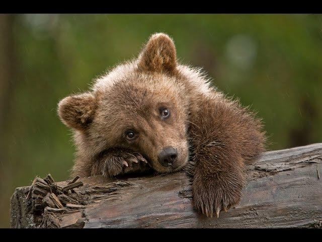 Медвежонок и пума Трогательное видео Никогда не сдавайся
