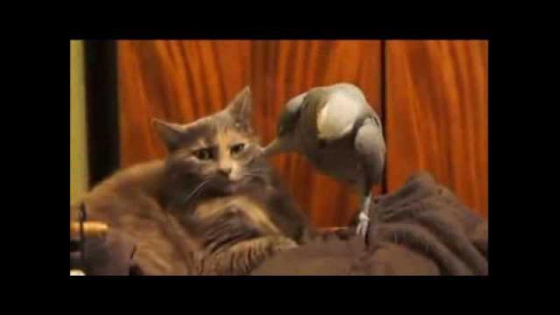 попугай джокер против кота Low