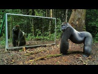 Животные смотрят на зеркало в джунглях - Animals in Mirrors Hilarious Reactions