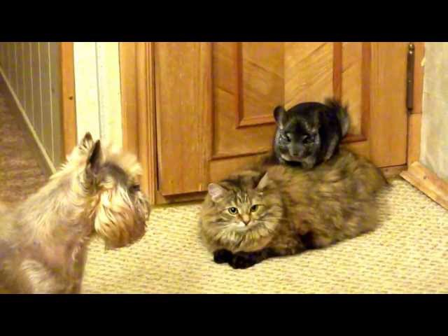 Chinchilla cat and dog Шиншилла кошка и собака