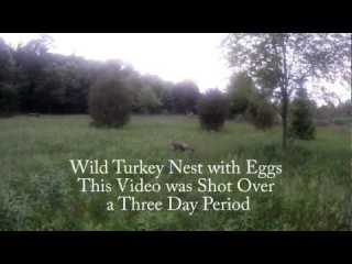 Wild Turkey Nesting, Egg Rotating, Egg Hatching, and Babies Leaving the Nest