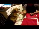 Армреслинг с очень злой собакой