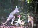 Мощная драка кенгуру с птицей! Смотрим, кто кого!