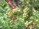 Виноградарь сортоиспытатель более 140 сортов в