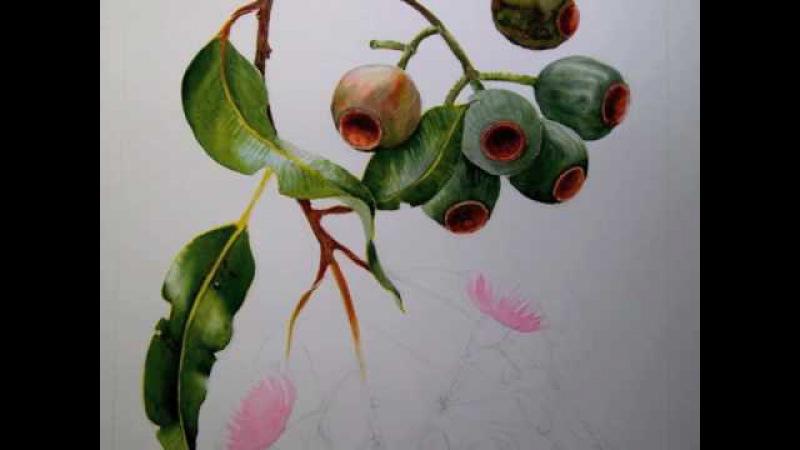 Helen's botanical E ficifolia tip 12